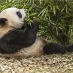Reuzenpanda; Giant Panda; Ailuropoda melanoleuca