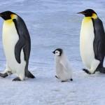 Waarom IJsberen geen Pinguïns eten