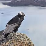 Andescondor; Andean Condor; Vultur gryphus