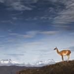 Guanaco; Guanaco; Lama guanicoe