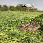 Netherlands, Montfoort, Young hare hiding for stork in background