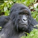 Berggorillas, Rwanda