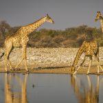 Giraffes bij waterpoel