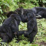 Gorilla's in Rwanda