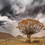 Kokerboom tegen dreigende lucht