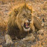 Leeuw; Lion; Panthera leo