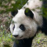 Panda's in China