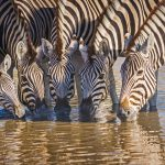 Zebra's at waterhole