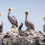 Pelikanen aan kust Noord-Chili